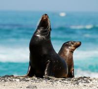 PERU, Ecuador, galapagos foche