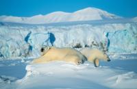 SVALBARD, orsi bianchi a spitsbergen