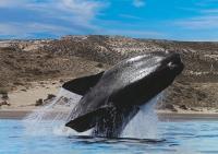 ARGENTINA, Balena di Peninsula Valdes