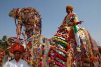 INDIA, Pushkar, cammello