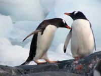 ARGENTINA, Antartide, Pinguini Papua
