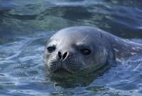 ARGENTINA, Polo Sud, foca