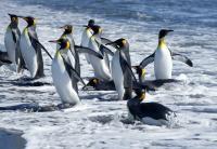 ARGENTINA, Polo sud, pinguini1