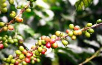 COLOMBIA, Colombia, caffè