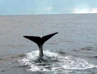 NORDEUROPA, Capodoglio, whale watching