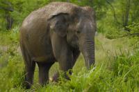 SRI LANKA, Sri lanka - mineriya elefante