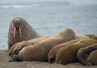 SVALBARD, Owe artico elefanti di mare