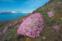 SVALBARD, Owe artico spitsbergen