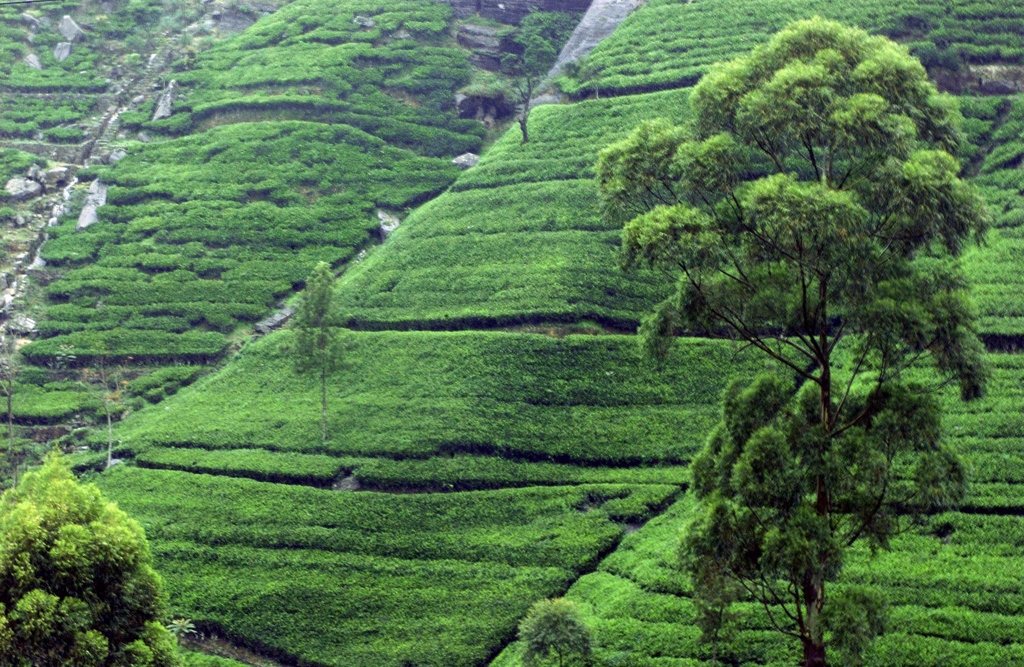 SRI LANKA, Kandy piantagione di the