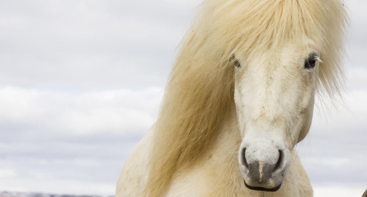 Viaggio in Islanda: Tour Ed Escursioni A Cavallo In Islanda